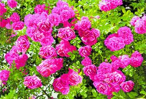 """4084-Матренин Посад """"Куст красной розы"""" 37х49 см"""
